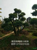 湖南精品杨梅树3介绍
