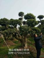 湖南精品杨梅树5*新报价/精品杨梅树5图片