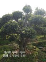 湖南精品杨梅树2信息