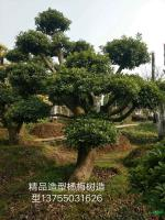 湖南精品造型杨梅树介绍