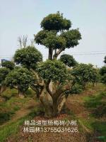 精品造型杨梅树2供应/精品造型杨梅树2图片