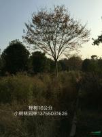 湖南榉树16公分