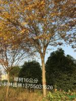 湖南榉树16公分3最新报价/榉树16公分3图片