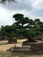 湖南日本黑松2