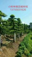 湖南精品榆树桩2