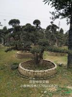 湖南造型中华蚊母17介绍