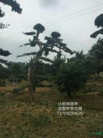 造型中华蚊母9供应/造型中华蚊母9图片
