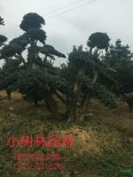 湖南造型中华蚊母11信息