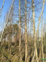 江西1到20公分水杉2介绍