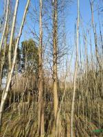 江西1到20公分水杉3介绍