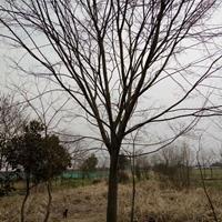 浙江长兴大量供应10-20cm精品榉树