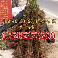 红瑞木价格H50公分-H60公分-H70公分高红瑞木价格表