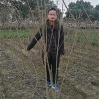 浙江地区低价供应木芙蓉