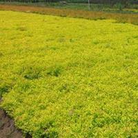 金山绣线菊厂家,金山绣线菊种植基地,金山绣线菊30*50公分