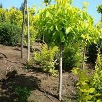 金叶复叶槭价格,金叶复叶槭种植基地,金叶复叶槭4-8公分大量