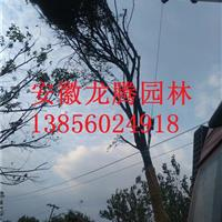 安徽合肥肥西黄连木、朴树红叶李、紫薇、大叶女贞、香樟、广玉兰