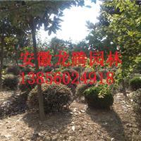 安徽红叶石楠、红叶石楠球、高杆石楠