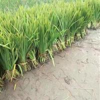 大量供应水生鸢尾、美人蕉、旱伞草(水竹)