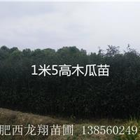 供应安徽合肥肥西木瓜、木瓜苗、1米木瓜、2米木瓜