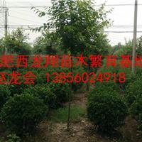 供应安徽合肥肥西1米海桐球、1米5海桐球、2米海桐球