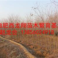 供应安徽合肥肥西1-2公分乌桕、2-3公分乌桕、3公分乌桕