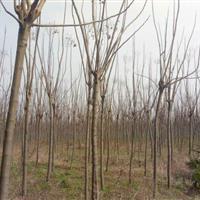 湖南栾树10公分,15公分