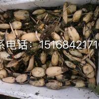 大量供应睡莲 王莲 各类草花水生植物全国专业 *低价欢迎联系