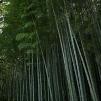 有竹类: 刚竹、金镶玉竹、箬竹、青皮竹、翠竹、早园竹、慈孝竹