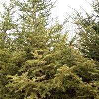 云杉、红豆杉、落羽杉、池杉、水杉、金叶水杉