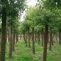 香樟树、枇杷树、大叶女贞