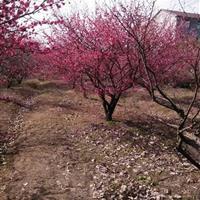 红梅、榆叶梅、美人梅、腊梅、绿梅