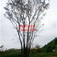 安徽合肥肥西丛生朴树报价、合肥丛生朴树价格、肥西丛生朴树基地