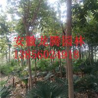安徽肥西棕榈*新报价、合肥棕榈树价格图片、肥西棕榈基地