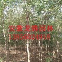 安徽肥西乌桕*新报价、合肥乌桕树价格图片、安徽肥西乌桕基地