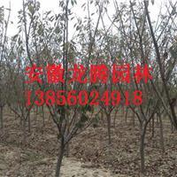 安徽肥西红叶桃最新报价、合肥红叶桃价格、安徽肥西红叶桃基地