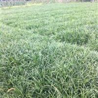 低价销售:细叶麦冬草,阔叶麦冬草,金边麦冬草