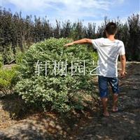 浙江地区大量供应冠幅80-120银姬小蜡