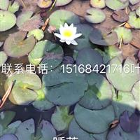 浙江地区大量供应睡莲 王莲 *专业的草花水生植物供应商