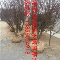 供安徽合肥肥西11公分红叶李、12公分红叶李、13公分红叶李