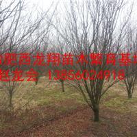供应安徽肥西14公分红叶李、15公分红叶李、16公分红叶李