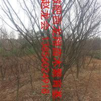供应安徽合肥肥西大规格红梅、腊梅