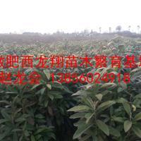 供应安徽肥西枇杷、当年枇杷苗、两年枇杷苗、枇杷树