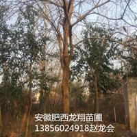供应安徽合肥肥西榔榆、原生榔榆、20公分榔榆、30公分榔榆