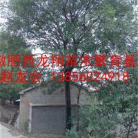 供应国槐、红叶李、无患子、榔榆、朴树