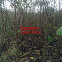 供应安徽合肥肥西白玉兰、红玉兰、广玉兰、白玉兰价格
