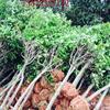 占地桂花6-15公分征收桂花树价格 2.8米切杆桂花大量供应