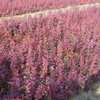 紫叶小檗球,紫叶小檗价格,紫叶小檗球80-100公分低价销售