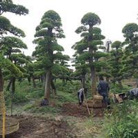 榆树 造型榆树 榆树报价  2018榆树价格  泽云苗木合作