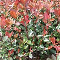 红叶石楠价格、高杆红叶石楠树、湖南红叶石楠基地直销价更优