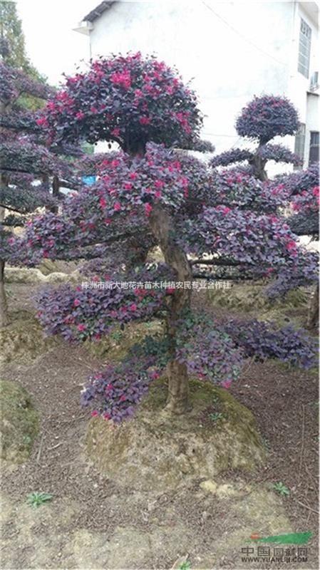 新大地苗圃供应规格齐全的造型红花继木价格&红花继木树桩价格